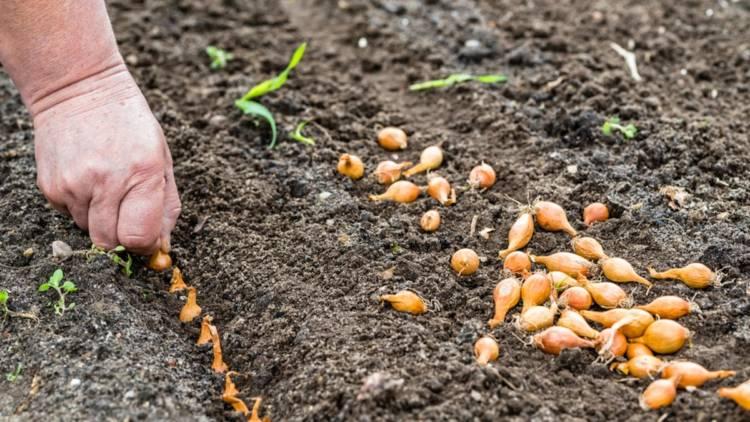 Обработка лука перед посадкой от вредителей и заболеваний: подготовка семян и севка осенью