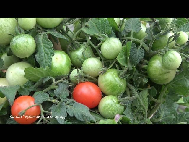 Спасатель для помидоров