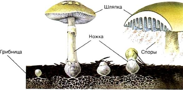Гриб и его плодовое тело - грибы собираем