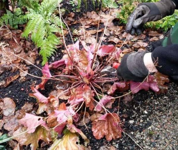 Фото колокольчика персиколистного и описание растения, посадка и уход в открытом грунте