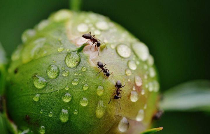Как избавиться от муравьев в теплице: народными средствами и химическими препаратами