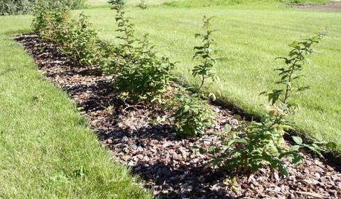 Ремонтантная малина, описание сортов, выращивание и уход
