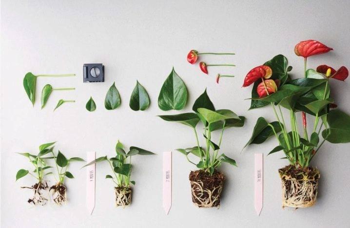 Пересадка антуриума в домашних условиях: как пересадить цветок «мужское счастье» после покупки? уход за антуриумом после пересадки пошагово