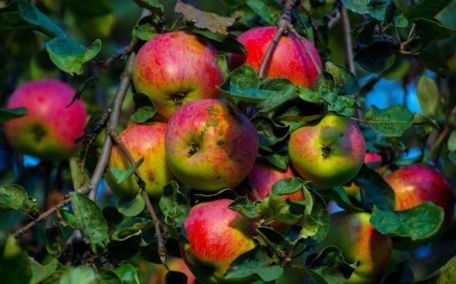 Яблоня услада: описание сорта, фото, отзывы, уход, опылители, посадка