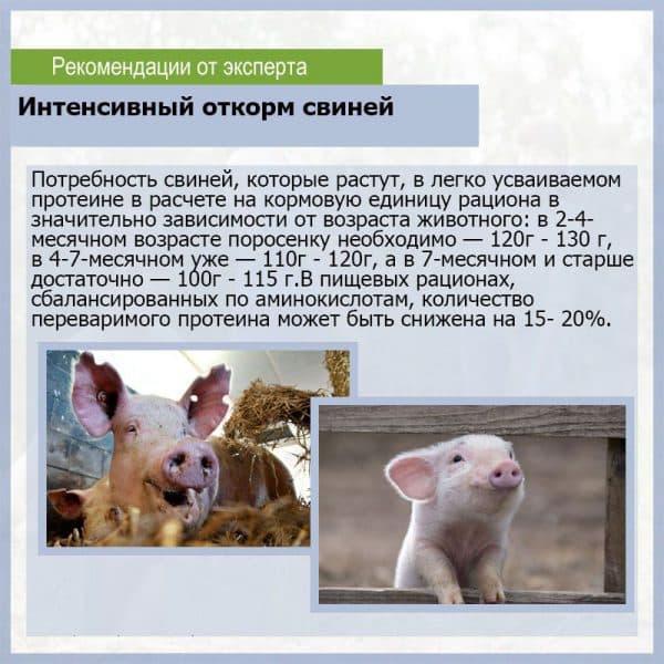 Содержание свиней в домашних условиях для начинающих: как содержать, ухаживать и кормить поросят