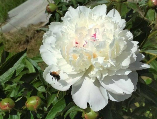 Пион фестива максима описание - дневник садовода flowersdi.ru