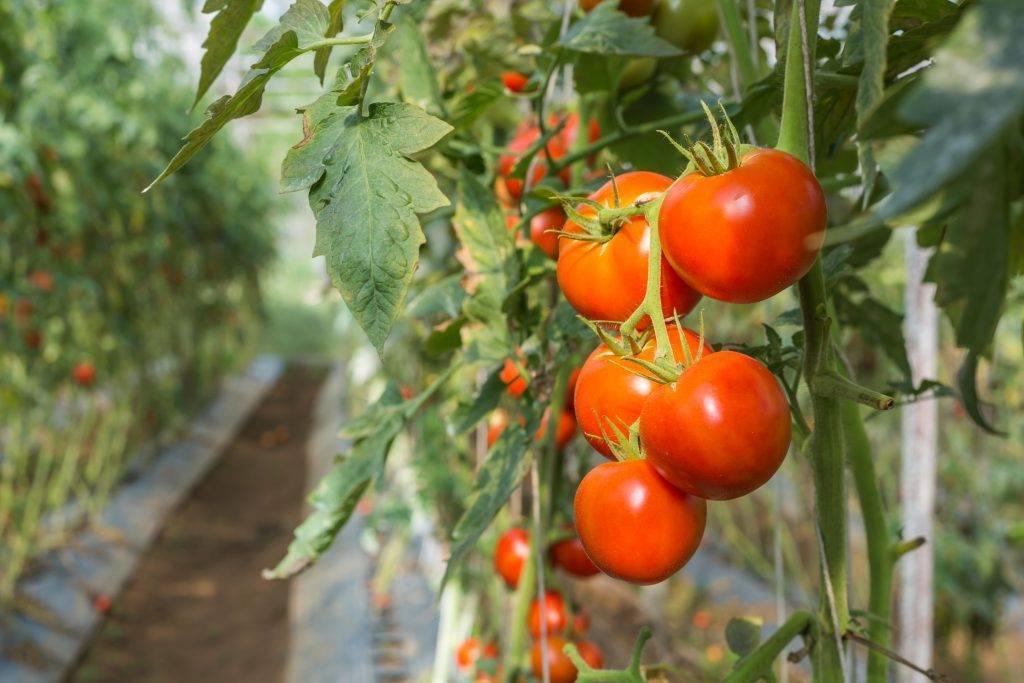 Томат джина: описание и характеристика сорта, урожайность, отзывы того кто сажал + фото