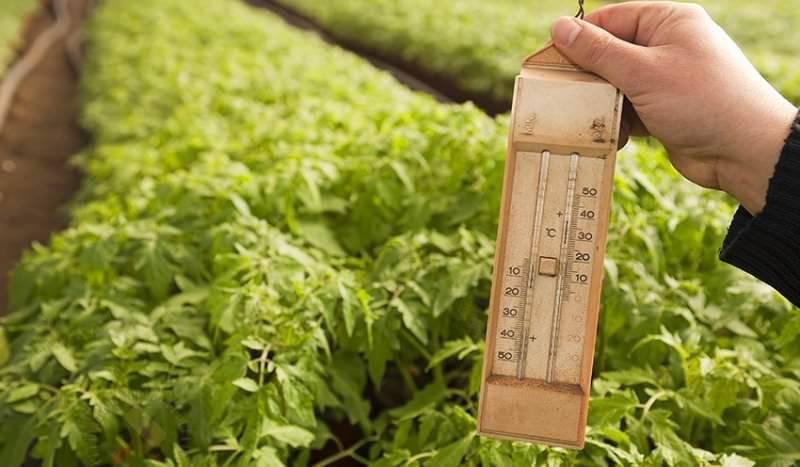 Оптимальная температура выращивания для томатов в теплице: правильное соблюдение режима