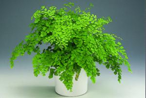 Адиантум: уход в домашних условиях, фото декоративного растения