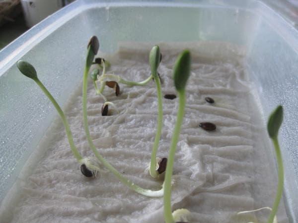 Как правильно подготовить семена огурцов к посеву