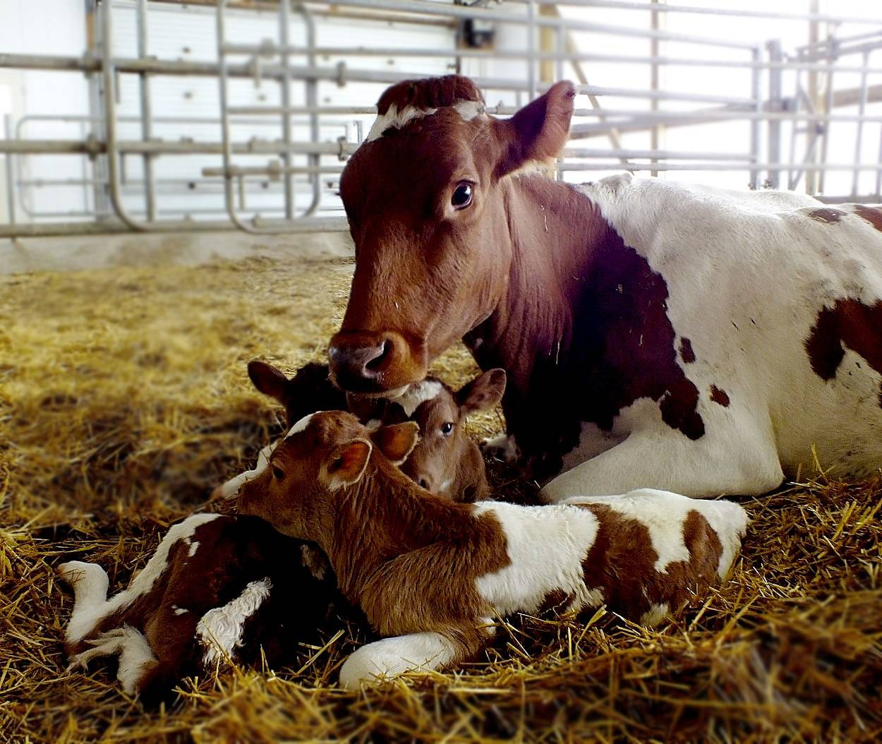 Искусственное осеменение коров — способы, инструкция