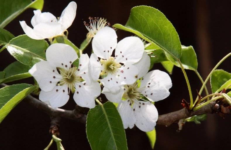 Лучшие медоносы – деревья, кустарники, травы