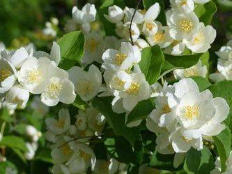 Чубушник венечный: описание, сорта, выращивание и размножение