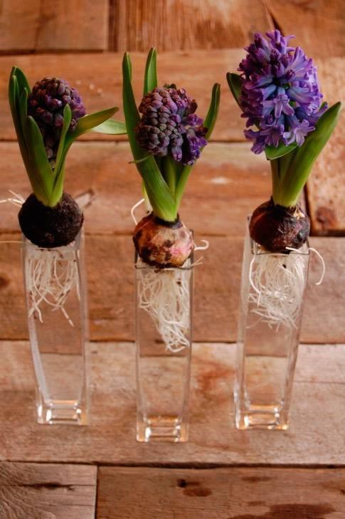 Посадка гиацинтов весной в открытый грунт: выращивание, уход, сроки посадки