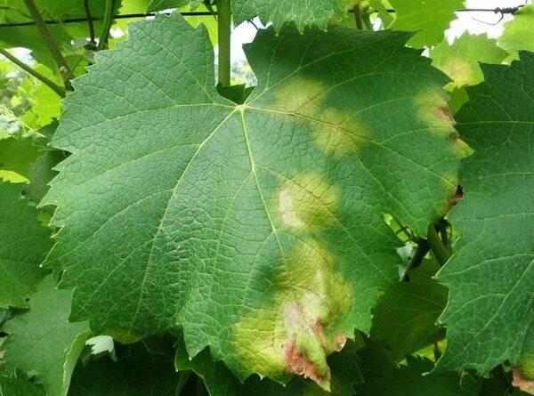 Причины пожелтения и усыхания листьев винограда, способы лечения