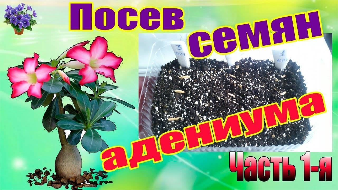 Адениум: выращивание из семян, уход, формирование каудекса в домашних условиях
