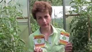 Кладоспориоз (бурая пятнистость) томатов: фото, лечение