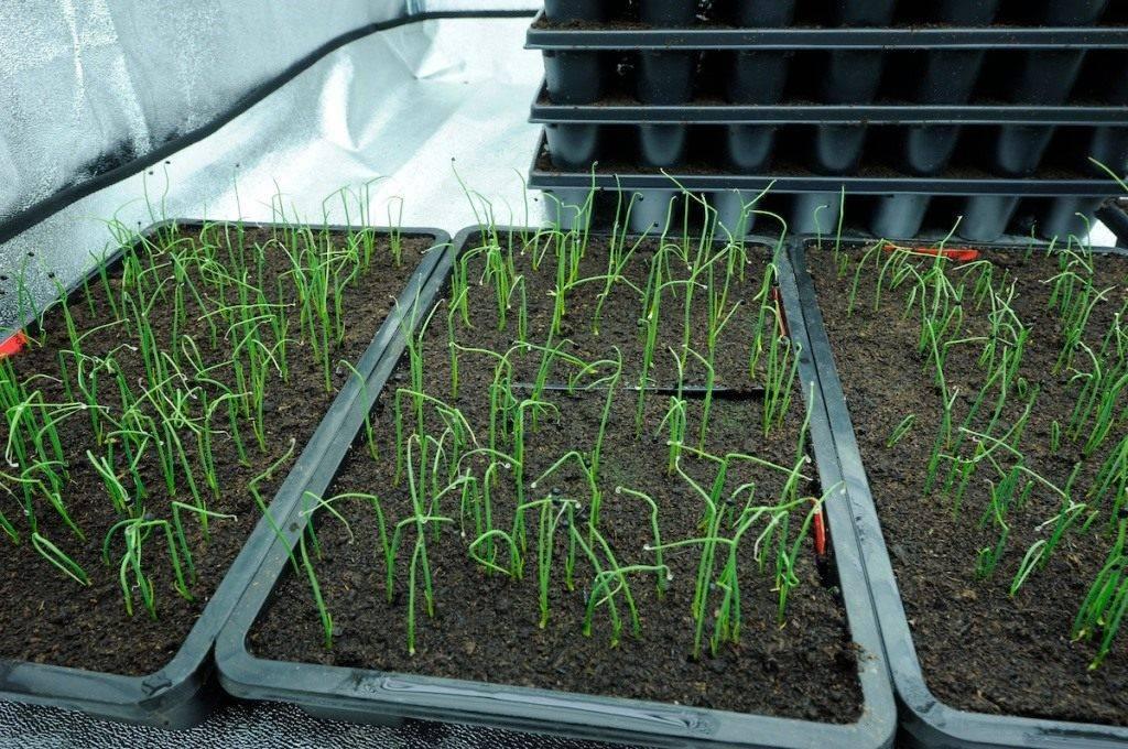 Лук эксибишен: посадка и выращивание из семян
