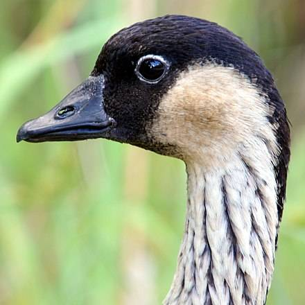 Птица алеутская канадская казарка: [фото, описание и характеристики]