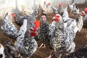 Орловская ситцевая порода кур – описание, фото, отзывы