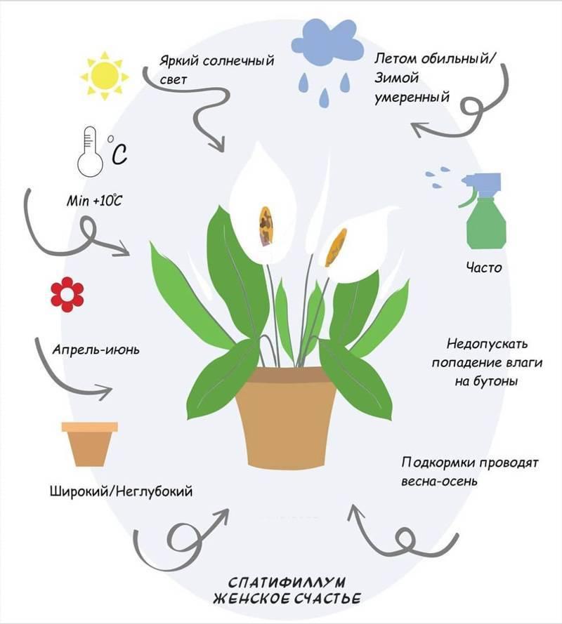 Как заставить спатифиллум цвести в домашних условиях хитрости
