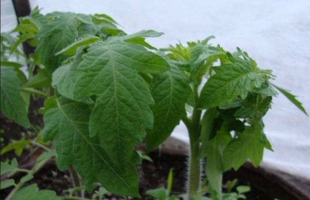 Оптимальная температура для рассады томатов