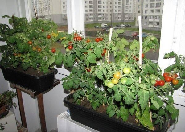 Как вырастить помидоры черри на балконе или подоконнике