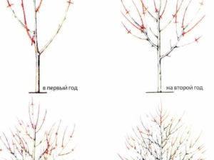 Как правильно обрезать абрикос и сформировать крону весна/лето/осень - огород, сад, балкон - медиаплатформа миртесен