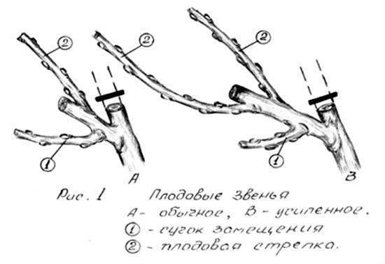 Виноград изабелла: посадка и уход, фото, описание сорта, формирование куста, обрезка