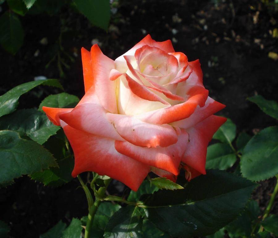 Роза императрица фарах: фото и описание цветка, использование в ландшафтном дизайне, а также рекомендации по размножению и уходудача эксперт