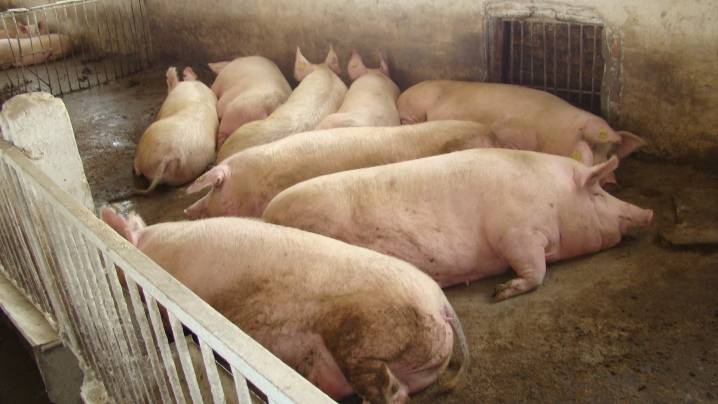 Свинарник: необходимые бактерии, полы, вентиляция и система освещения