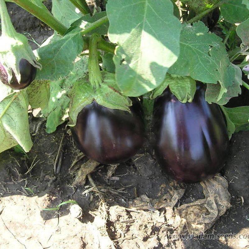 Описание баклажана галинэ - агрономы