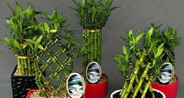 Комнатный бамбук: разбираем самое важное по уходу