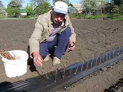 Посадка винограда черенками весной в грунт: сроки и правила