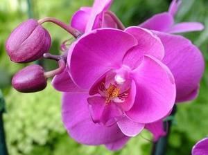 Можно ли пересаживать цветущую орхидею и как правильно это делать? плюсы, минусы и нюансы процедуры