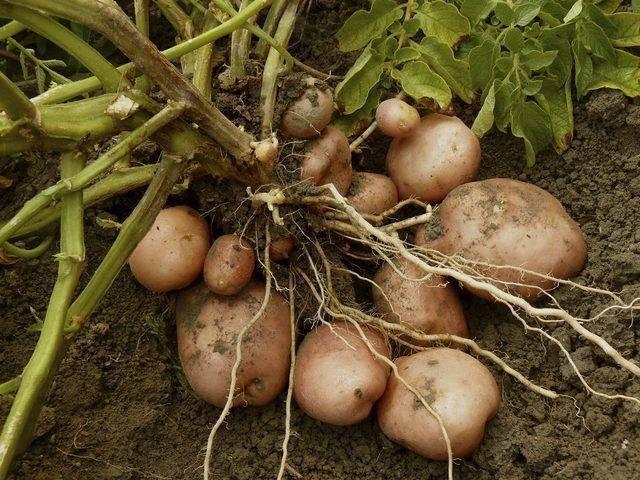 Как прорастить клубни картофеля к посадке - 4 способа стимулирования