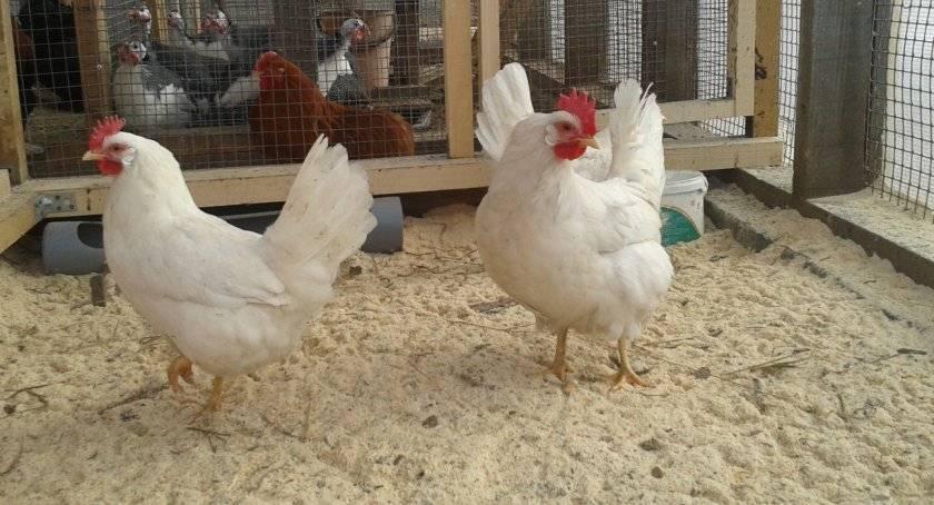 Ферментационная подстилка для кур – плюсы и минусы, отзывы