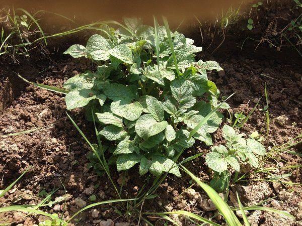 Голландский способ посадки и выращивания картофеля: схема и пошаговая инструкция