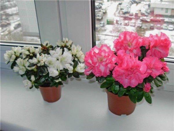 Азалия - домашний цветок и садовое растение. уход, листья, цветы. как ухаживать за азалией в домашних условиях и в саду – дачные дела