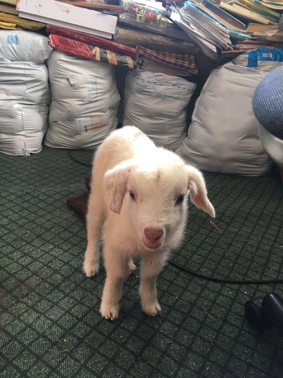 Выделения у козы после окота
