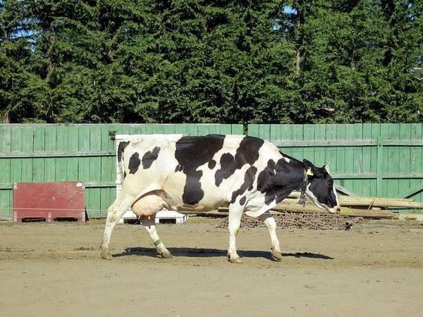 Папилломы у коров: как лечить папилломатоз на вымени и других частях тела