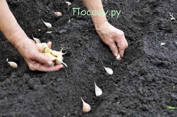 Как сажать чеснок под зиму и чтобы был крупный, на какую глубину (фото, видео)