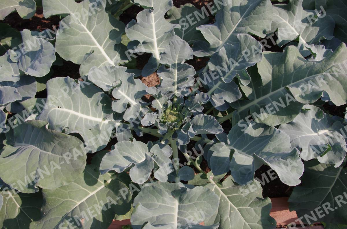 Лучшие сорта капусты брокколи: ранние, поздние, для сибири, средней полосы, подмосковья, урала, отзывы