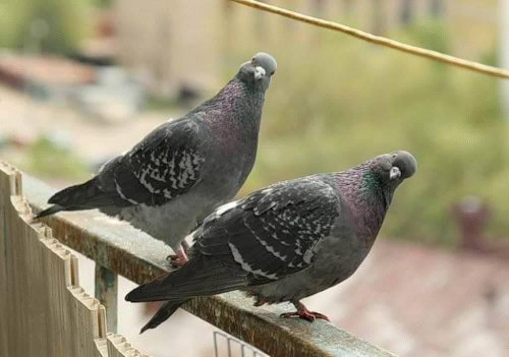 Какие инфекции и болезни переносят голуби и как от них уберечься? - блогфермера