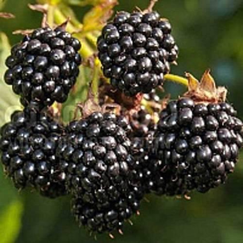 Ежевика агавам: описание сорта, посадка и уход, отзывы садоводов