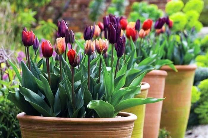 Когда и как сажать тюльпаны? сроки и посадка тюльпанов осенью