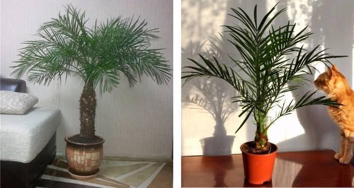 Финиковая пальма: выращивание и трудности
