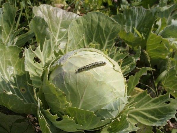 Как обработать капусту от вредителей народными средствами