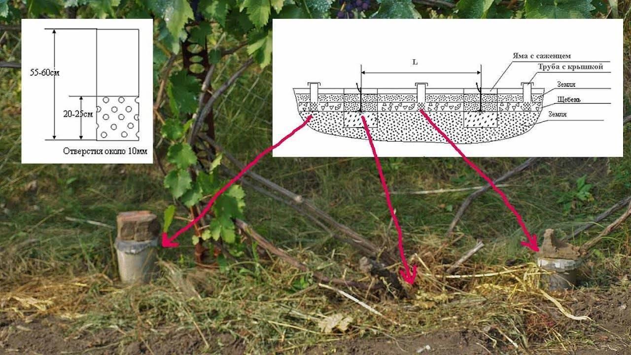 Полив винограда летом для повышения урожайности