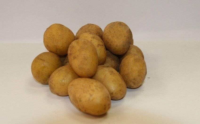 Картофель агата описание сорта, вкусовые качества, фото и отзывы